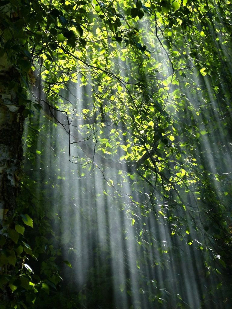 forest, sunbeams, trees