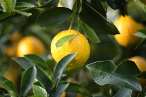 agriculture, lemon, fruit